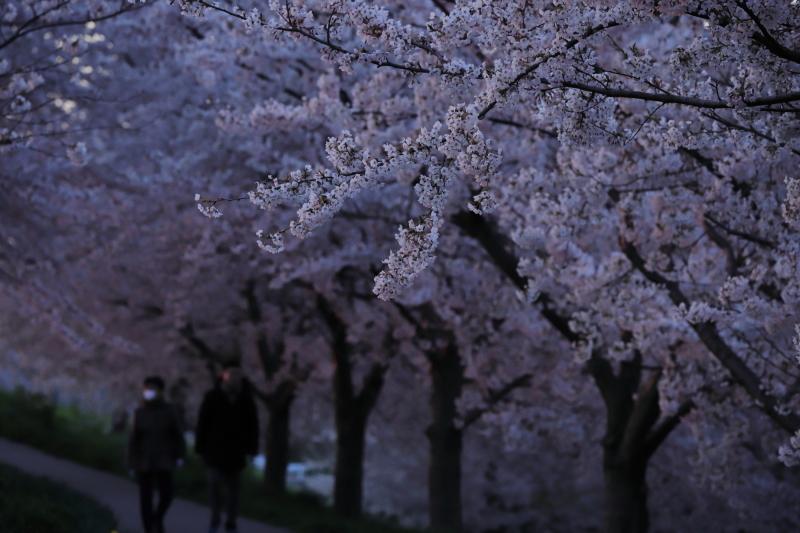 今年の桜_e0169421_22421331.jpg
