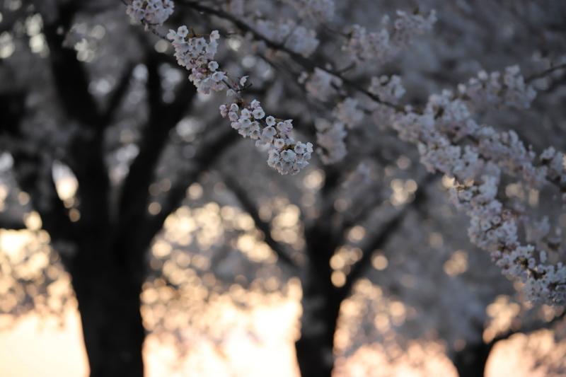 今年の桜_e0169421_22421409.jpg