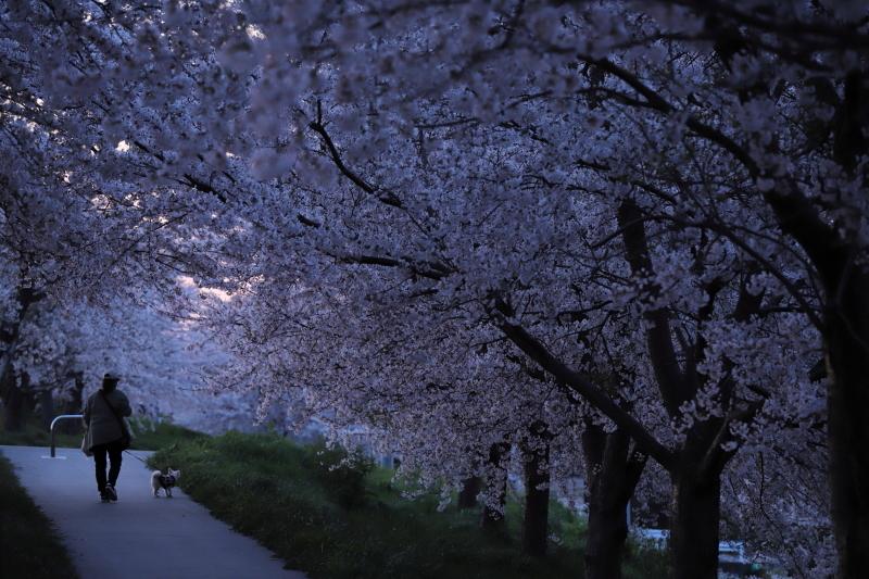 今年の桜_e0169421_22421525.jpg