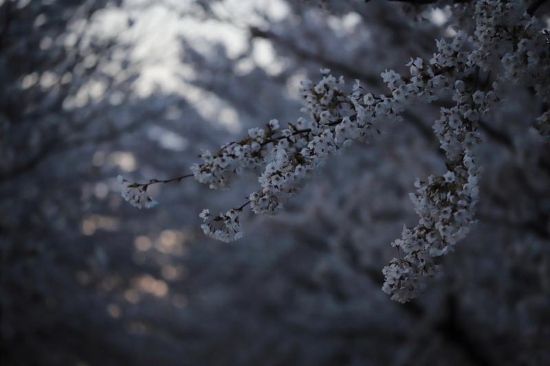 今年の桜_e0169421_22421581.jpg