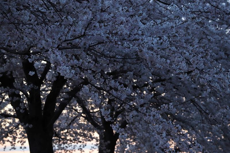 今年の桜_e0169421_22421695.jpg