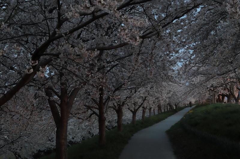 今年の桜_e0169421_22421739.jpg