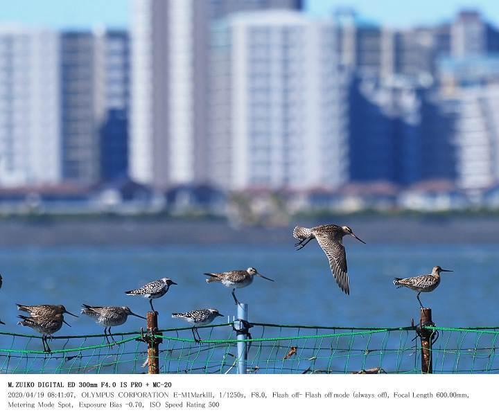 ふなばし三番瀬海浜公園 2020.4.19(2)_c0062451_15232165.jpg