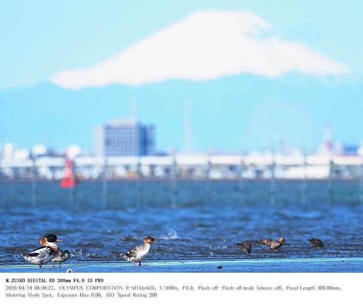 ふなばし三番瀬海浜公園 2020.4.19(2)_c0062451_15272533.jpg
