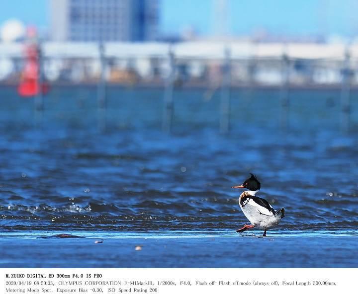ふなばし三番瀬海浜公園 2020.4.19(2)_c0062451_15292339.jpg