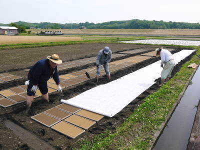 れんげを肥料に使い無農薬栽培の「七城町砂田のこだわりれんげ米」残りわずか!れんげの花咲く様子(2020)_a0254656_17324716.jpg