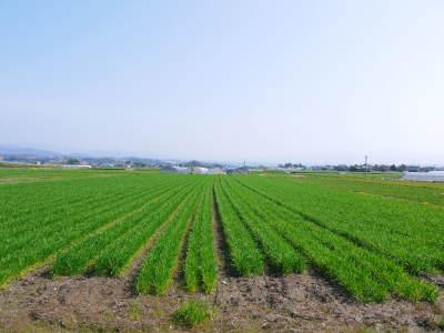 れんげを肥料に使い無農薬栽培の「七城町砂田のこだわりれんげ米」残りわずか!れんげの花咲く様子(2020)_a0254656_17380924.jpg