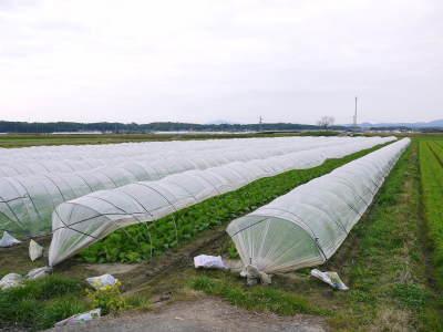 れんげを肥料に使い無農薬栽培の「七城町砂田のこだわりれんげ米」残りわずか!れんげの花咲く様子(2020)_a0254656_17394929.jpg