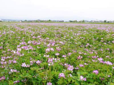 れんげを肥料に使い無農薬栽培の「七城町砂田のこだわりれんげ米」残りわずか!れんげの花咲く様子(2020)_a0254656_17463651.jpg