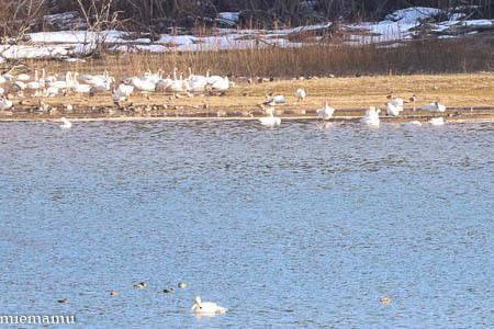 聖台ダの白鳥~4月の美瑛_d0340565_20305800.jpg