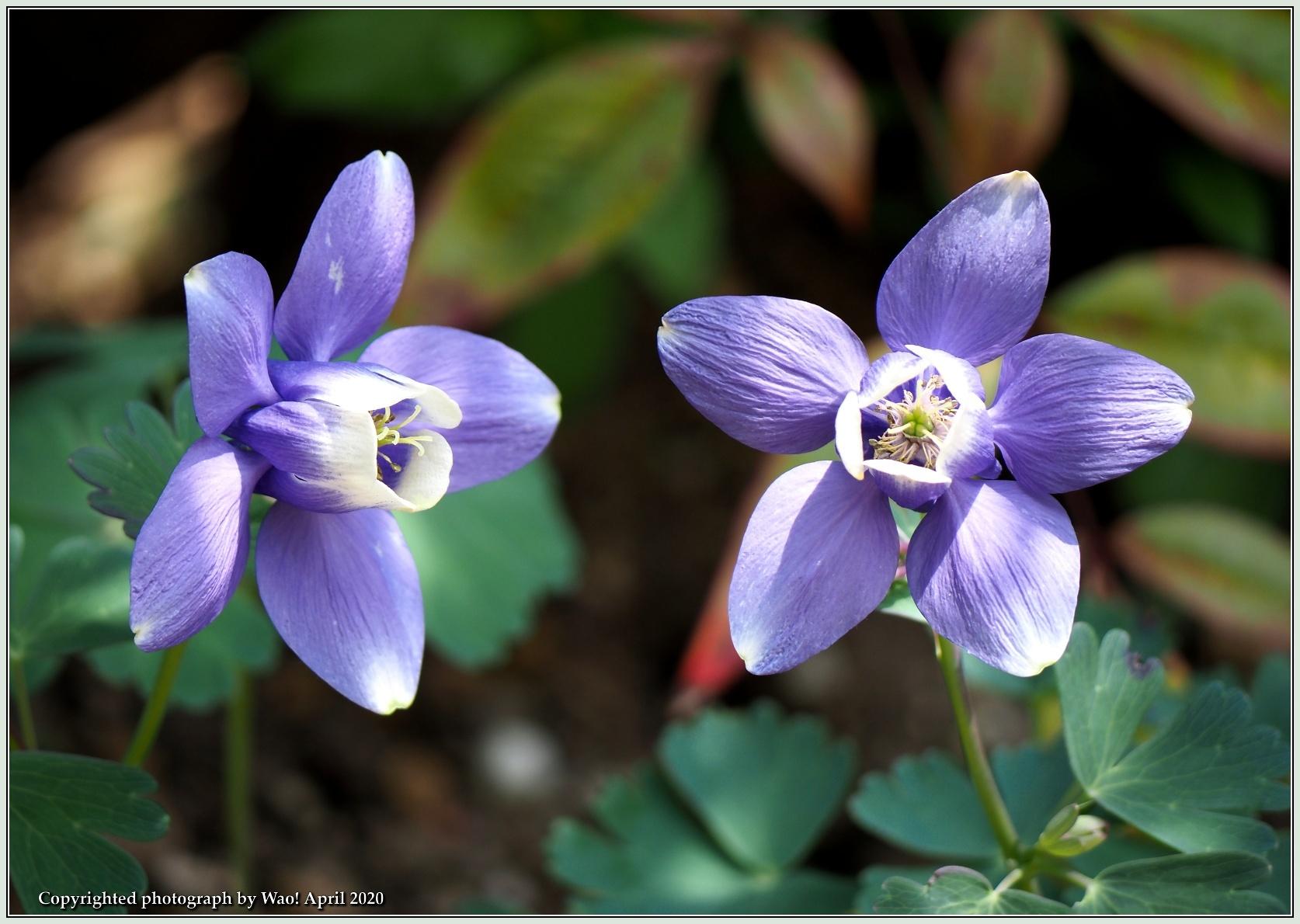 庭の花-6_c0198669_21473805.jpg