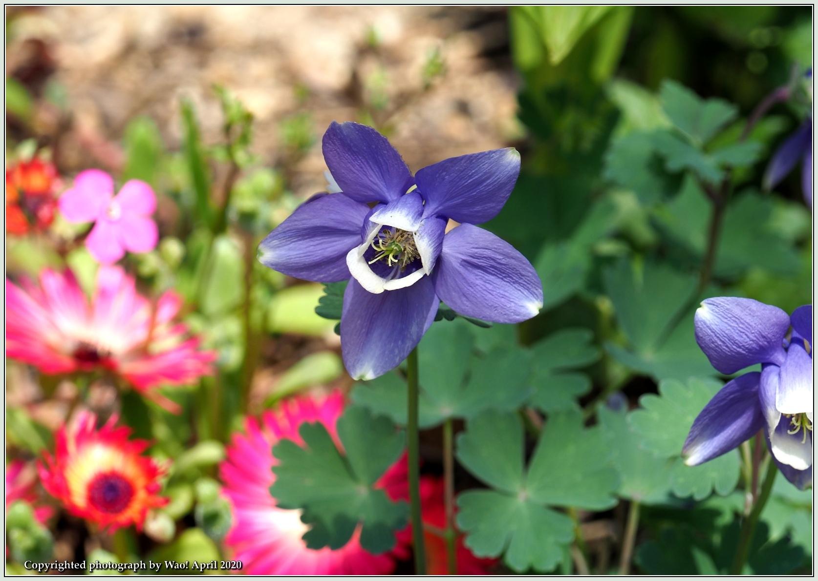 庭の花-6_c0198669_21480094.jpg