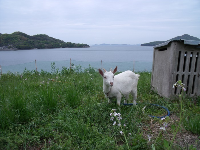 志々島から子山羊!_b0186205_16455429.jpg