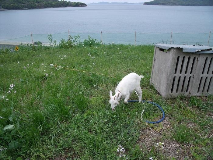 志々島から子山羊!_b0186205_16460687.jpg