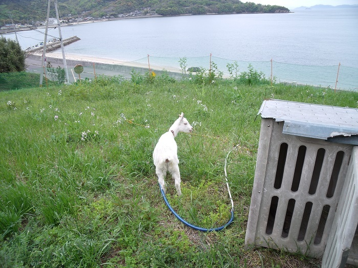 志々島から子山羊!_b0186205_16465039.jpg
