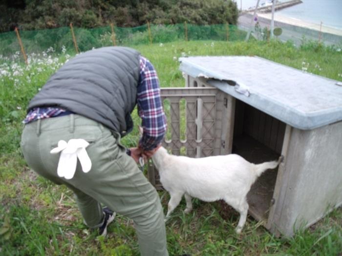 志々島から子山羊!_b0186205_16465676.jpg