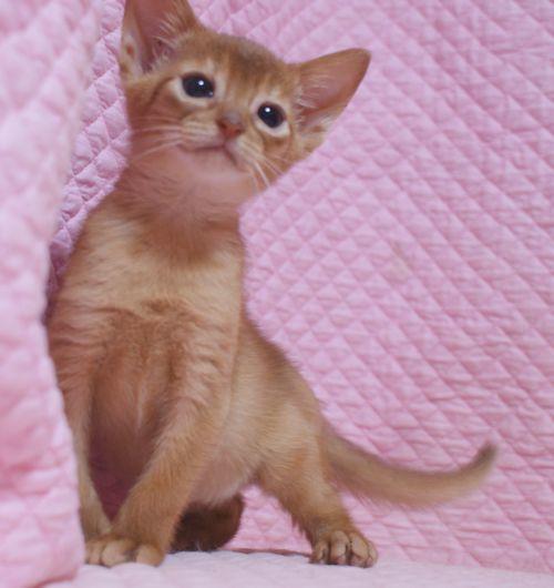 アビシニアン子猫 レッド坊や 3/1生まれ 2020'家族募集中_e0033609_15553604.jpg
