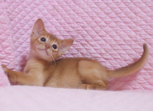 アビシニアン子猫 レッド坊や 3/1生まれ 2020'家族募集中_e0033609_15555623.jpg