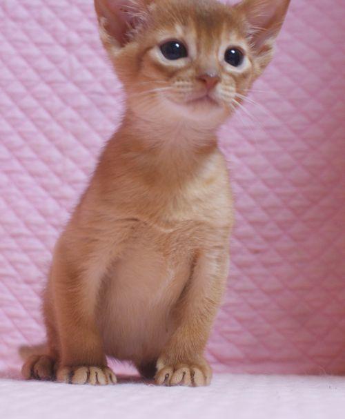 アビシニアン子猫 レッド坊や 3/1生まれ 2020'家族募集中_e0033609_15560300.jpg
