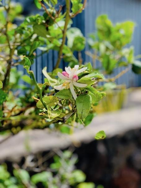 レモンのお花が咲きました〜♬_c0187025_12370216.jpg