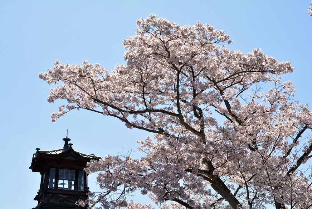 5丁目の桜_e0373930_20584413.jpg