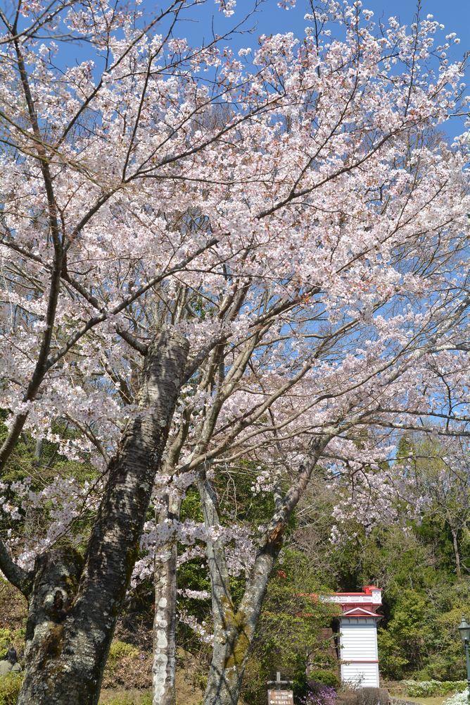 5丁目の桜_e0373930_20584586.jpg