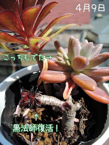 進化する多肉ちゃん_c0062832_15432595.jpg