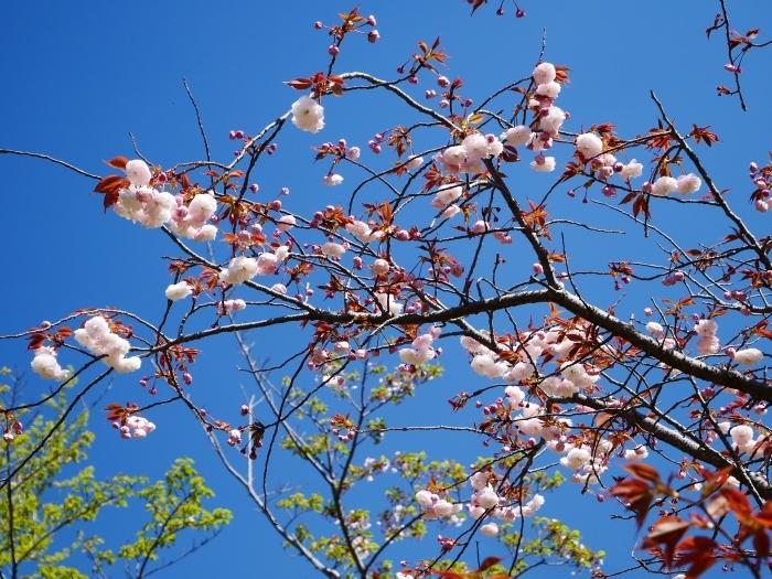 八重桜  2020-04-25 00:00   _b0093754_22422099.jpg
