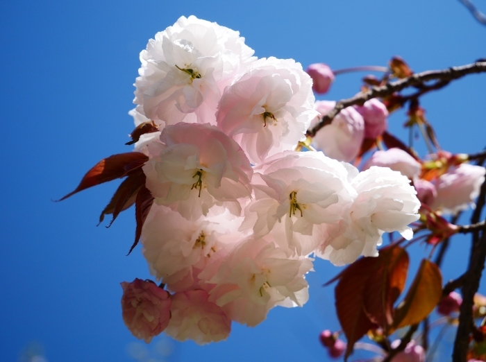 八重桜  2020-04-25 00:00   _b0093754_22423232.jpg