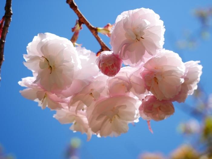 八重桜  2020-04-25 00:00   _b0093754_22424551.jpg