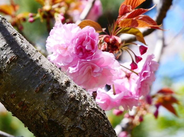 八重桜  2020-04-25 00:00   _b0093754_22425531.jpg