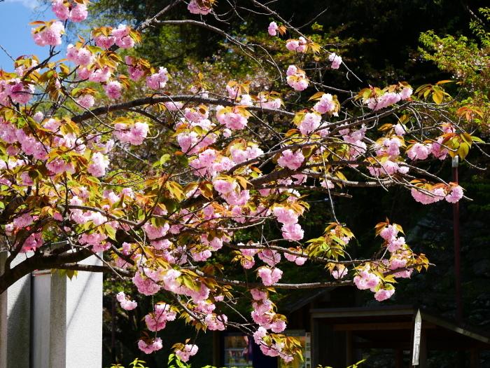 八重桜  2020-04-25 00:00   _b0093754_22430771.jpg