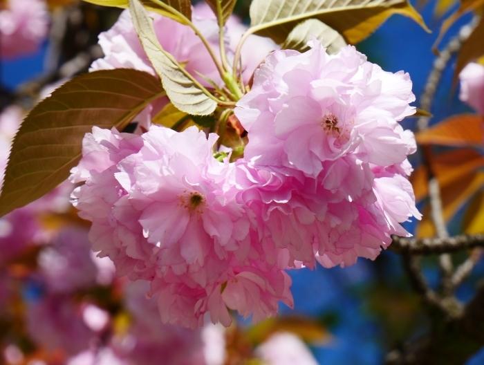 八重桜  2020-04-25 00:00   _b0093754_22431770.jpg