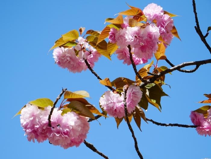 八重桜  2020-04-25 00:00   _b0093754_22432668.jpg