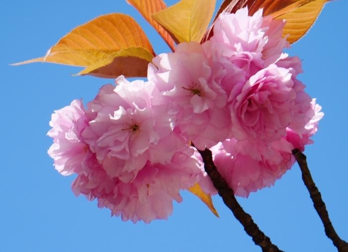 八重桜  2020-04-25 00:00   _b0093754_22433545.jpg