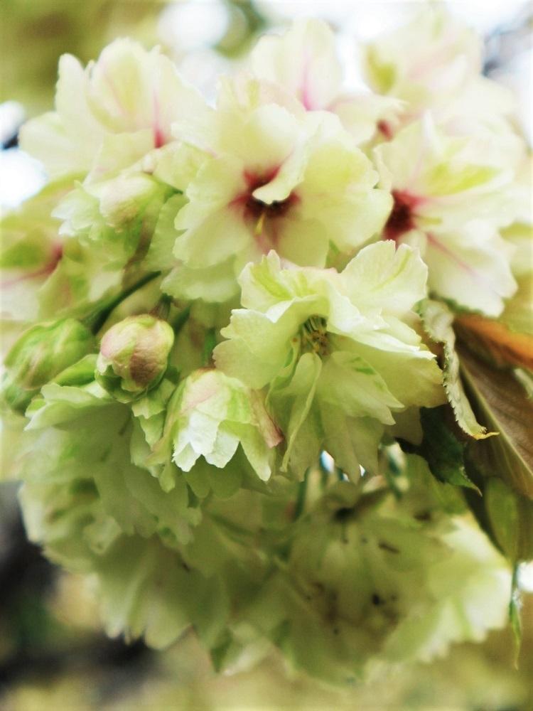 桜 weeks(華やかな終幕) _a0147281_21501086.jpg