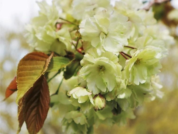 桜 weeks(華やかな終幕) _a0147281_21501403.jpg