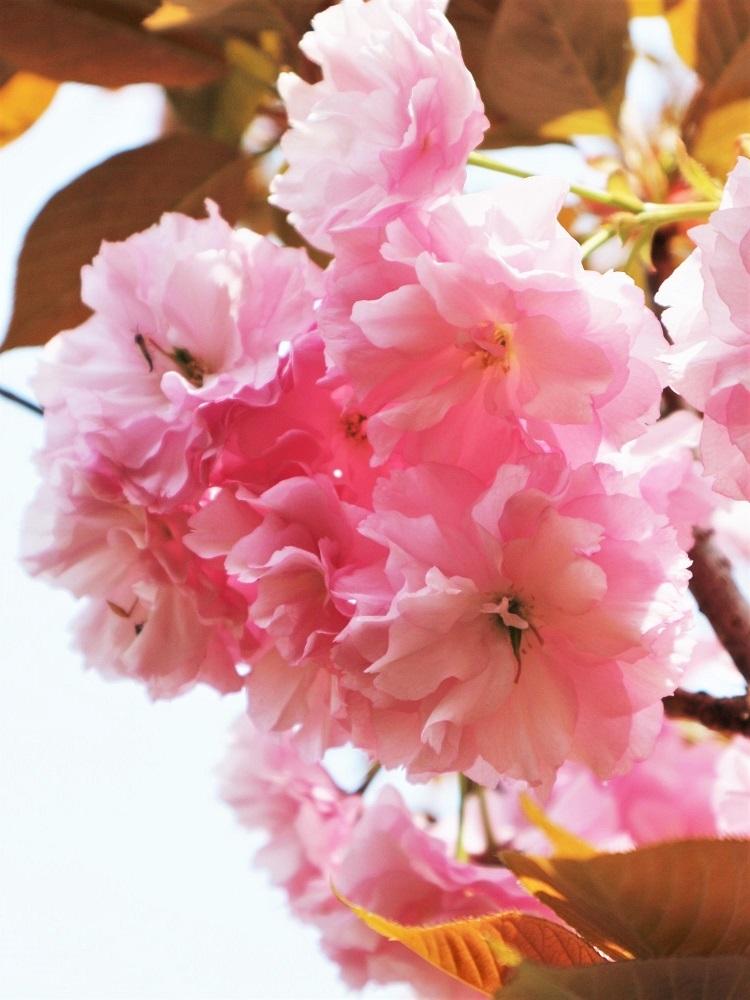 桜 weeks(華やかな終幕) _a0147281_21501677.jpg