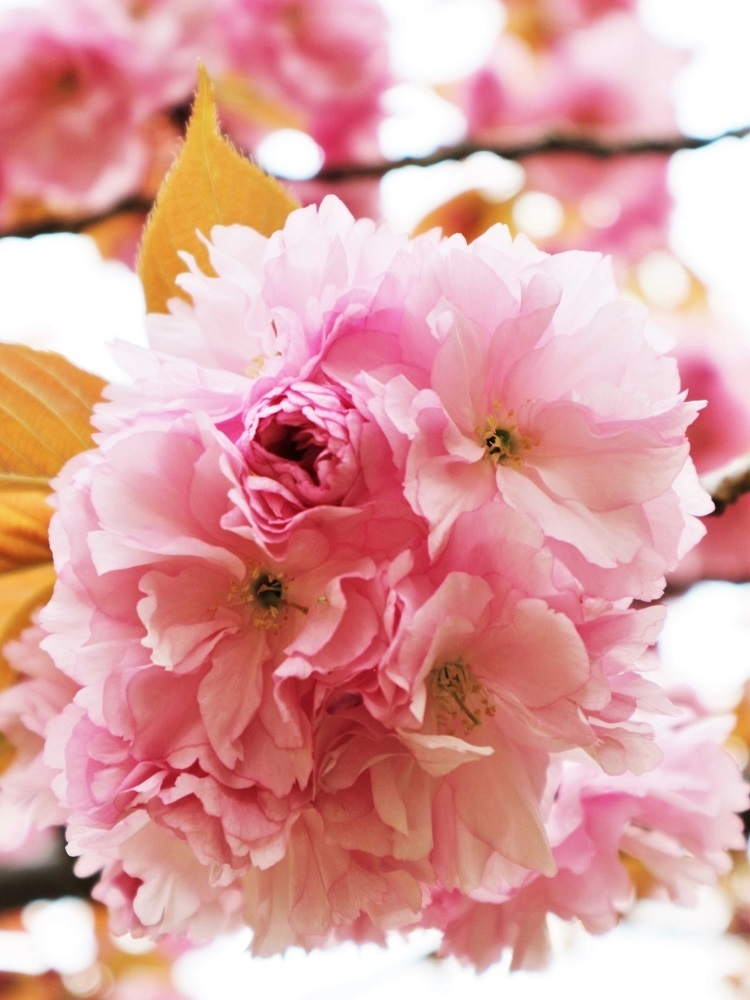桜 weeks(華やかな終幕) _a0147281_21501904.jpg