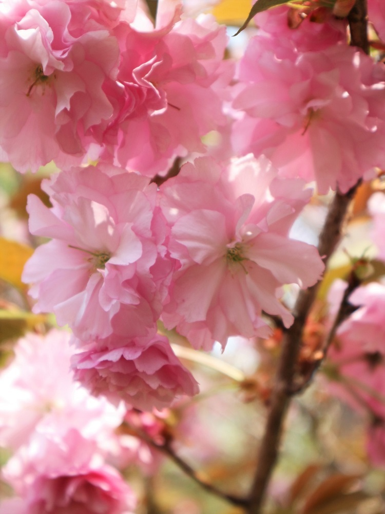 桜 weeks(華やかな終幕) _a0147281_21502256.jpg