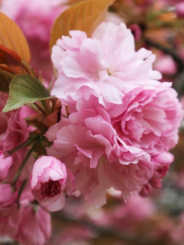 桜 weeks(華やかな終幕) _a0147281_21502460.jpg