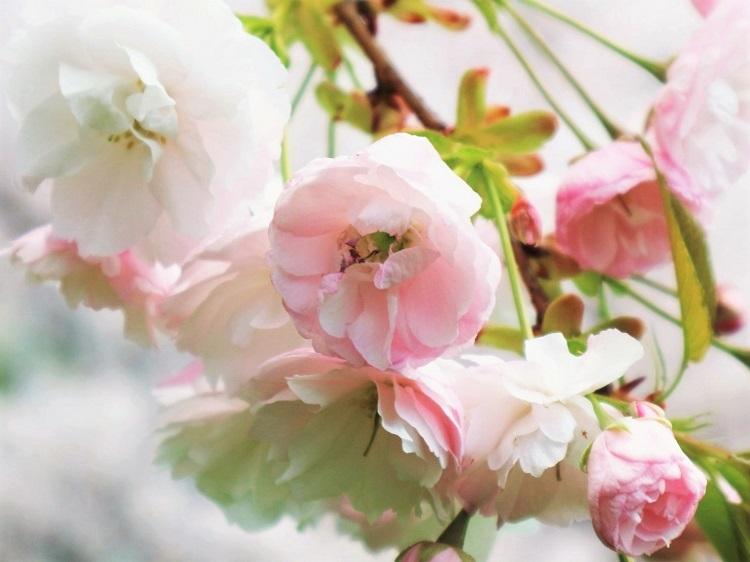 桜 weeks(華やかな終幕) _a0147281_21502786.jpg