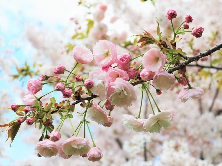 桜 weeks(華やかな終幕) _a0147281_21502909.jpg