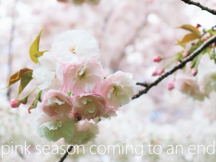 桜 weeks(華やかな終幕) _a0147281_21503208.jpg