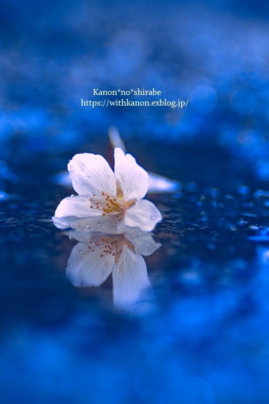 桜雨③_d0148187_14020588.jpg