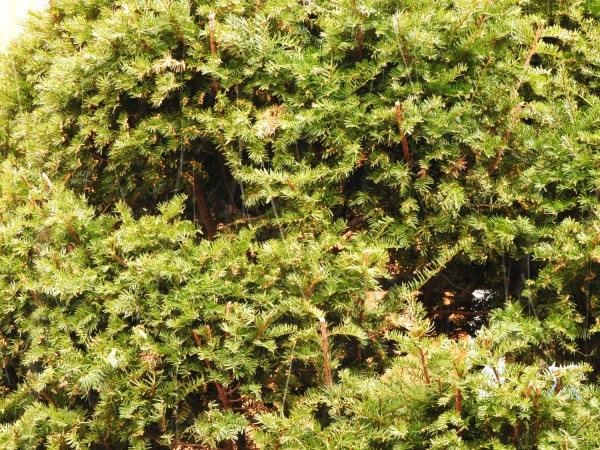今週末の天気と気温(2020年4月23日)コブシが咲きました!_b0174425_22231034.jpg