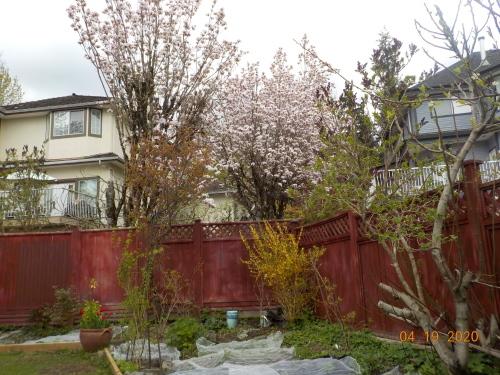 コロナ引きこもりのおかげで、庭がきれいになりました。_a0173527_07562660.jpg