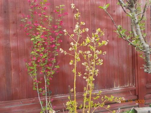 コロナ引きこもりのおかげで、庭がきれいになりました。_a0173527_07594378.jpg