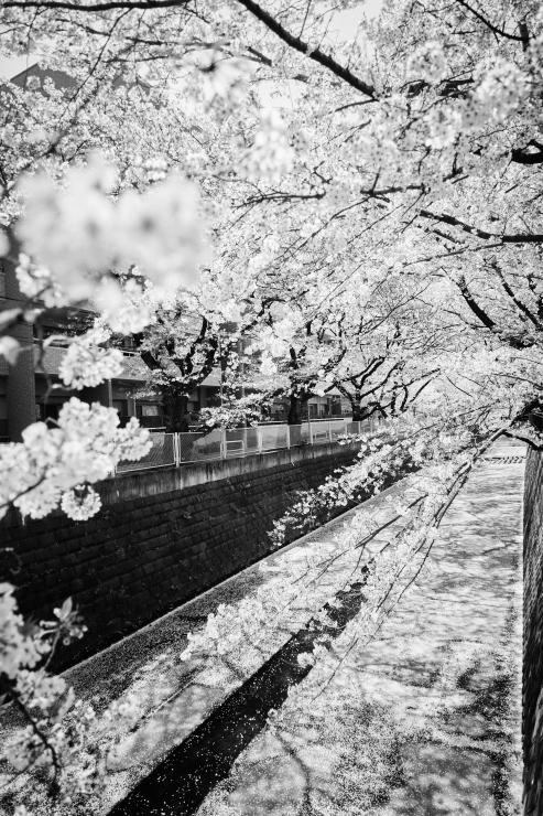 桜(3cut)_e0342136_23185270.jpg