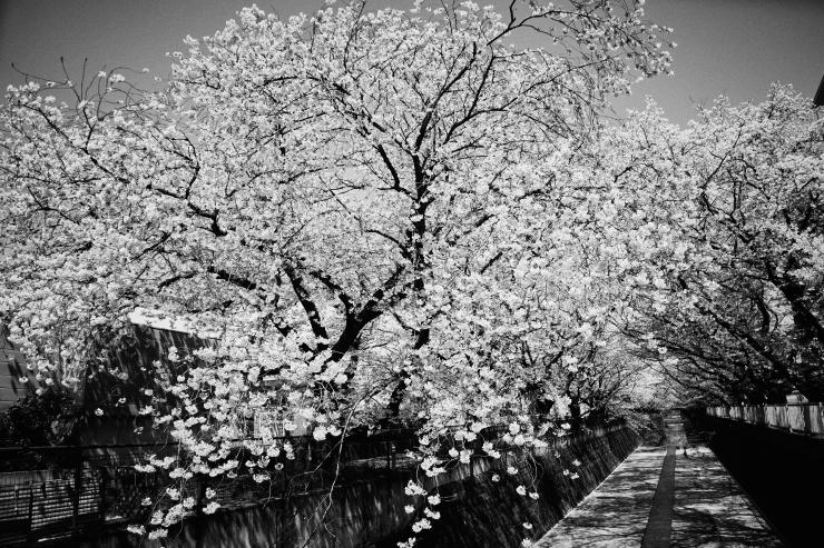 桜(3cut)_e0342136_23192174.jpg
